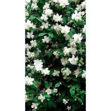 Жасмин садовый микс V1,5 H20
